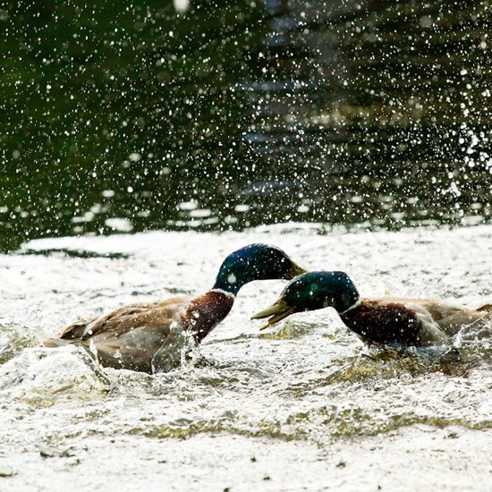 Duckfight